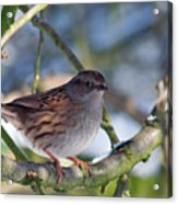 Dunnock On A Snowy Day In Winter Acrylic Print