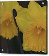 Duo In Daffodils Acrylic Print