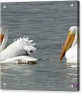 Duo Pelicans Acrylic Print