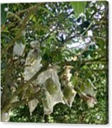 Durian Tree Hong Kong Acrylic Print