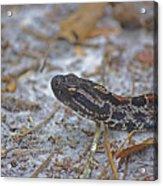 Dusky Pygmy Rattlesnake Acrylic Print