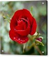 Dusky Red Acrylic Print