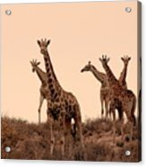 Dusty Giraffes Acrylic Print