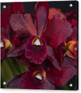 Dusty Red Orchid Acrylic Print