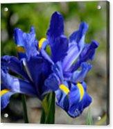 Dutch Iris Acrylic Print