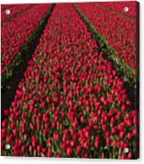Dutch Tulips Second Shoot Of 2015 Part 1 Acrylic Print