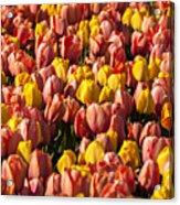 Dutch Tulips Second Shoot Of 2015 Part 9 Acrylic Print