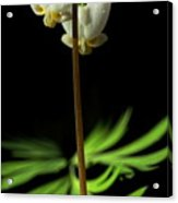 Dutchman's Breeches Narrow Format Acrylic Print