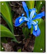 Dwarf Iris Acrylic Print