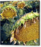 Dying Sunflowers In Field Acrylic Print