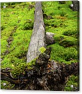Dying Tree In The Forest Acrylic Print