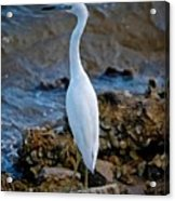 Eager Egret Acrylic Print
