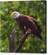 Eagle-2 Acrylic Print