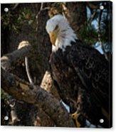 Eagle 2 Acrylic Print