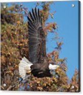 Eagle Banking Acrylic Print