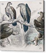 Eagle Birds Print Acrylic Print