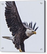 Eagle Decending Acrylic Print