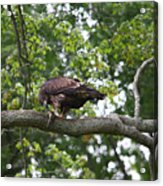 Eagle Eating A Fish Acrylic Print