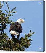 Eagle Eye - Bald Eagle In Kalifornsky, Alaska Acrylic Print