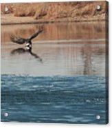 Eagle Fishing Acrylic Print