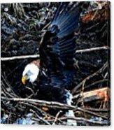 Eagle Getting Ready To Feed Acrylic Print