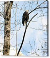 Eagle In A Tall Tree Acrylic Print