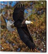 Eagle In Fall Acrylic Print