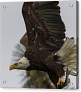 Eagle In Flight With Fish Acrylic Print