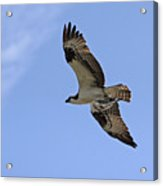 Eagle Lakes Park - Osprey In Flight With Sea Fish Meal Acrylic Print