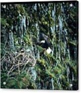Eagle Landing On Nest Acrylic Print