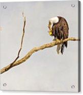 Eagle Nail Biting  Acrylic Print