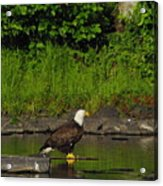 Eagle On A River Rock Acrylic Print