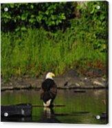 Eagle On River Rock II Acrylic Print