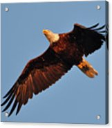 Eagle Over The Fox Acrylic Print