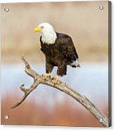Eagle Overlooking Colorado River Acrylic Print