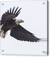 Eagle Pausing Acrylic Print