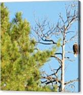 Eagle Perch Acrylic Print