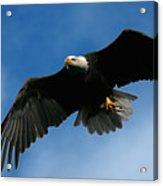 Eagle Pride Acrylic Print