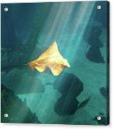 Eagle Ray Underwater Acrylic Print