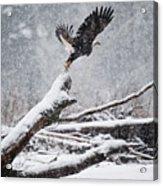 Eagle Takeoff In Snow Acrylic Print