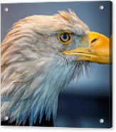 Eagle With An Attitude Acrylic Print by Bill Tiepelman