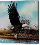 Eagle With Decoy Acrylic Print