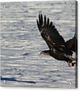 Eagle_7894 Acrylic Print