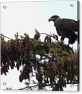 Eaglet In Pines Acrylic Print
