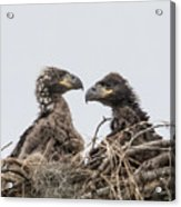 Eaglets Having A Chat Acrylic Print