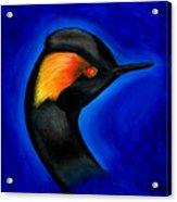 Eared Grebe Duck Acrylic Print