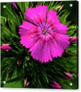 Early Bloomer Acrylic Print