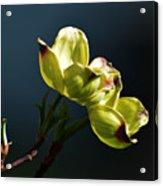 Early Dogwood Blossoms Acrylic Print