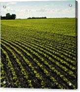 Early Growth Soybean Field Acrylic Print