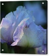 Early Iris Sunshine Acrylic Print